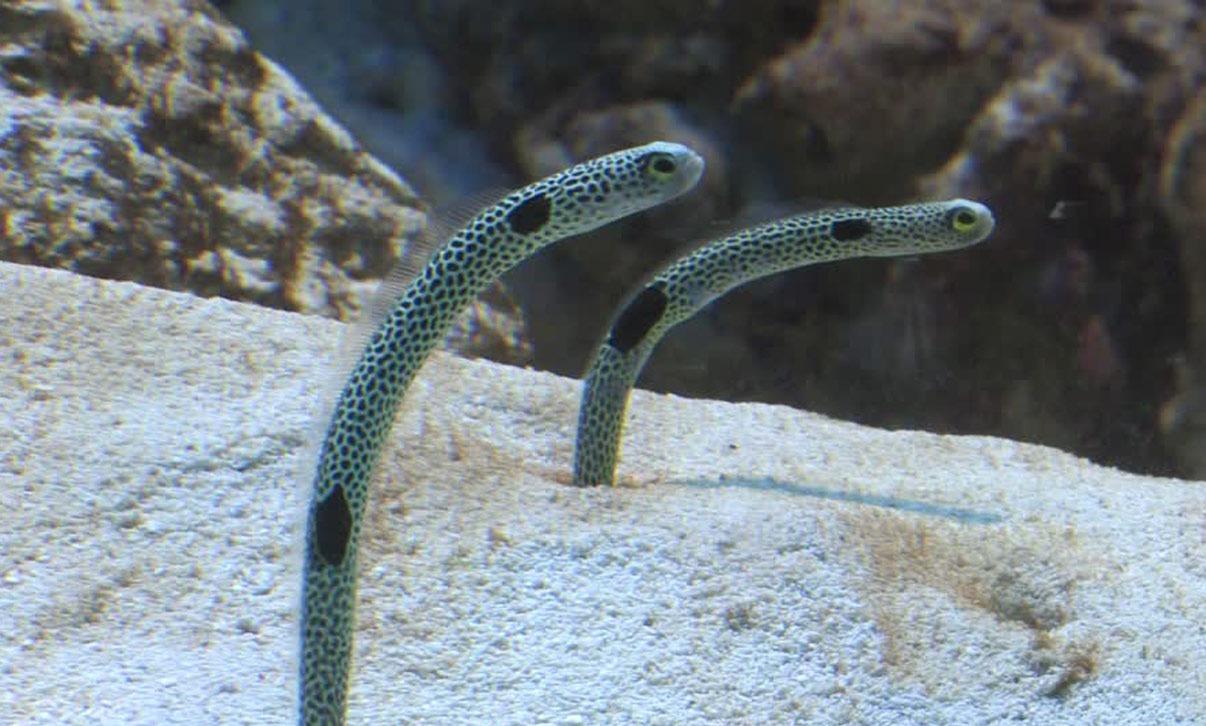 Spotted Garden Eel Adaptations Garden Ftempo