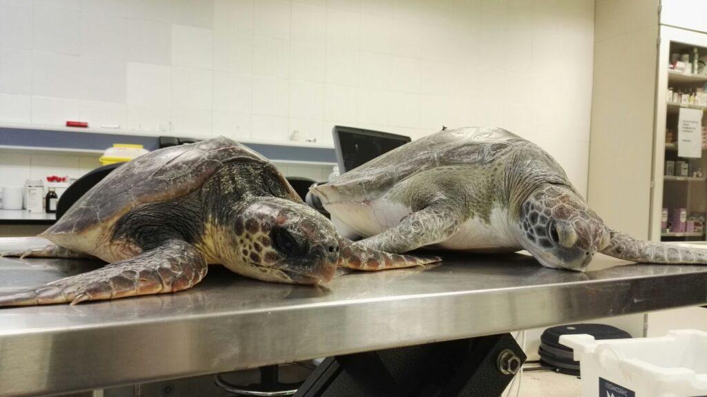 Llega una tortuga verde oceanografic valencia web for Oceanografic valencia precio 2016