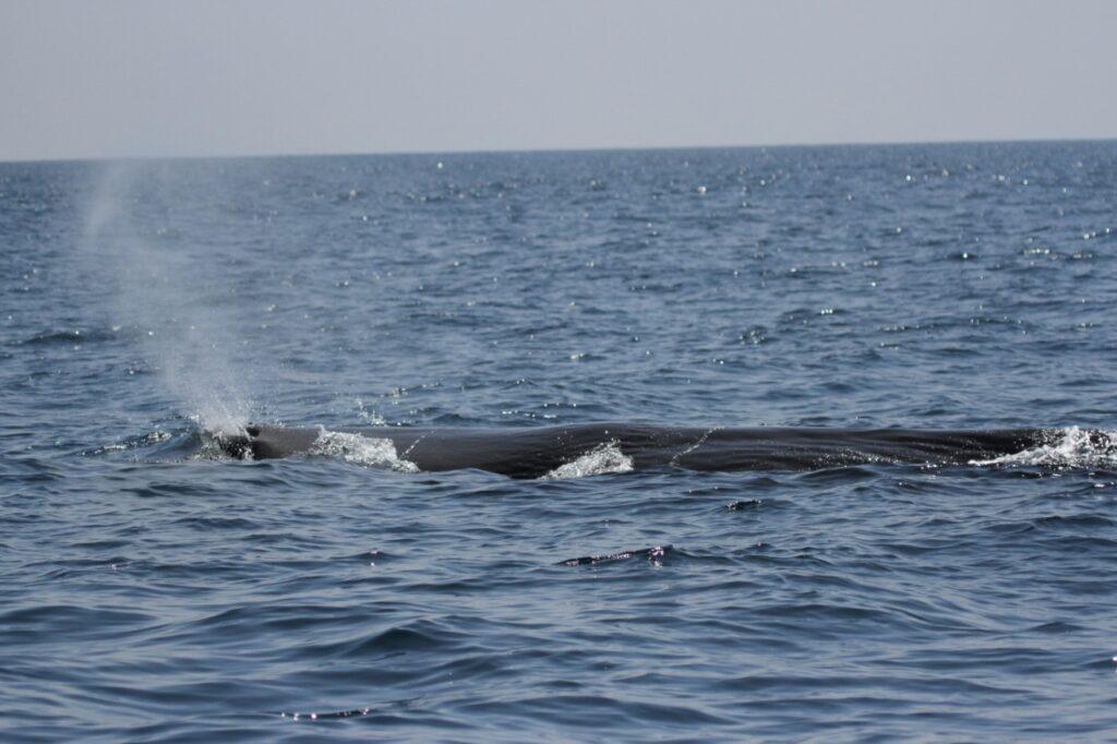 2 sterm whale