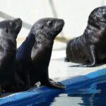 Nacen tres leones marinos en el Oceanogràfic