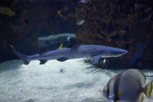 tiburon de puntas blancas