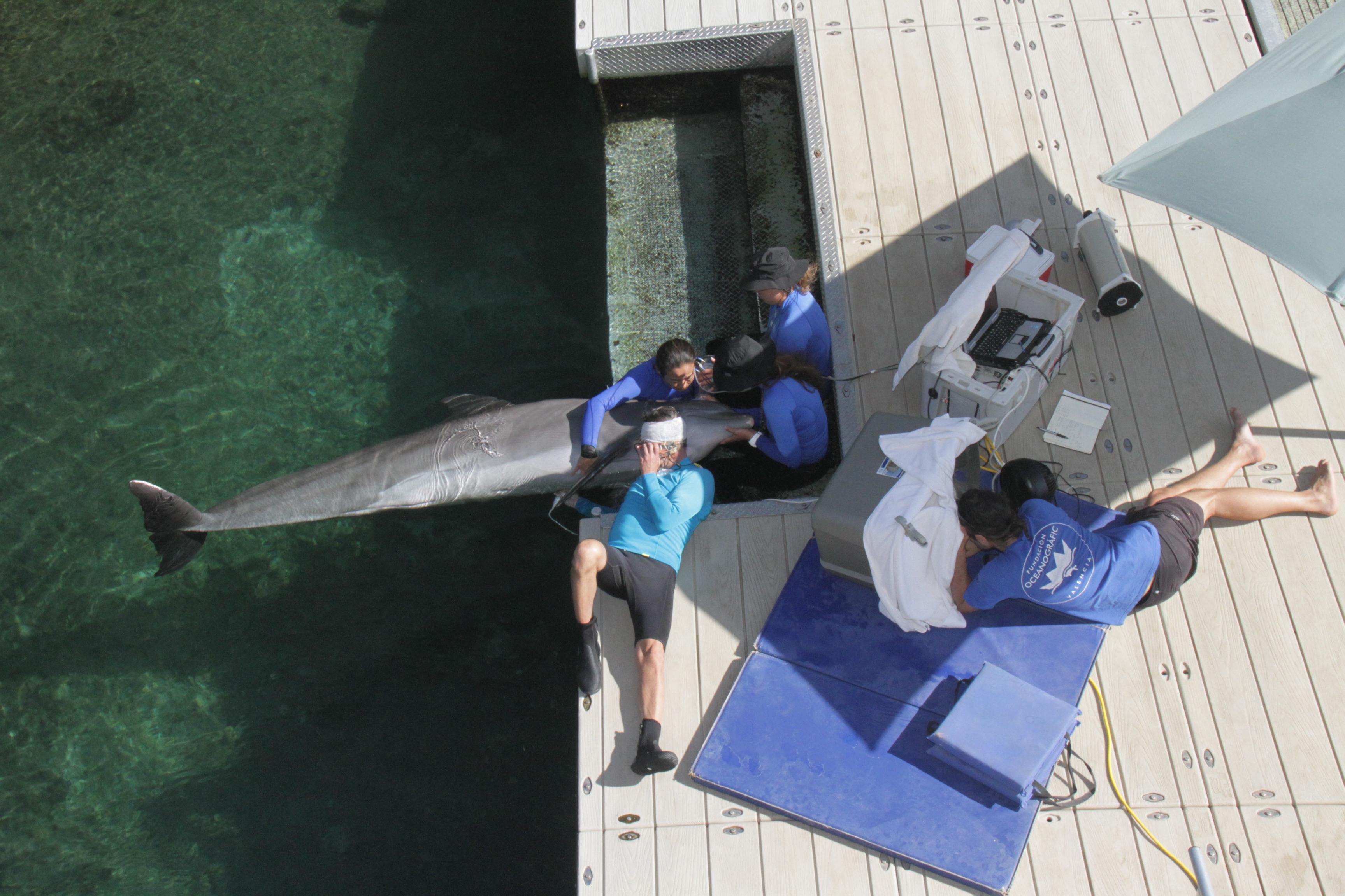 Estudio del sistema cardiovascular en delfines en colaboración con Dolphin Quest (Hawaii)