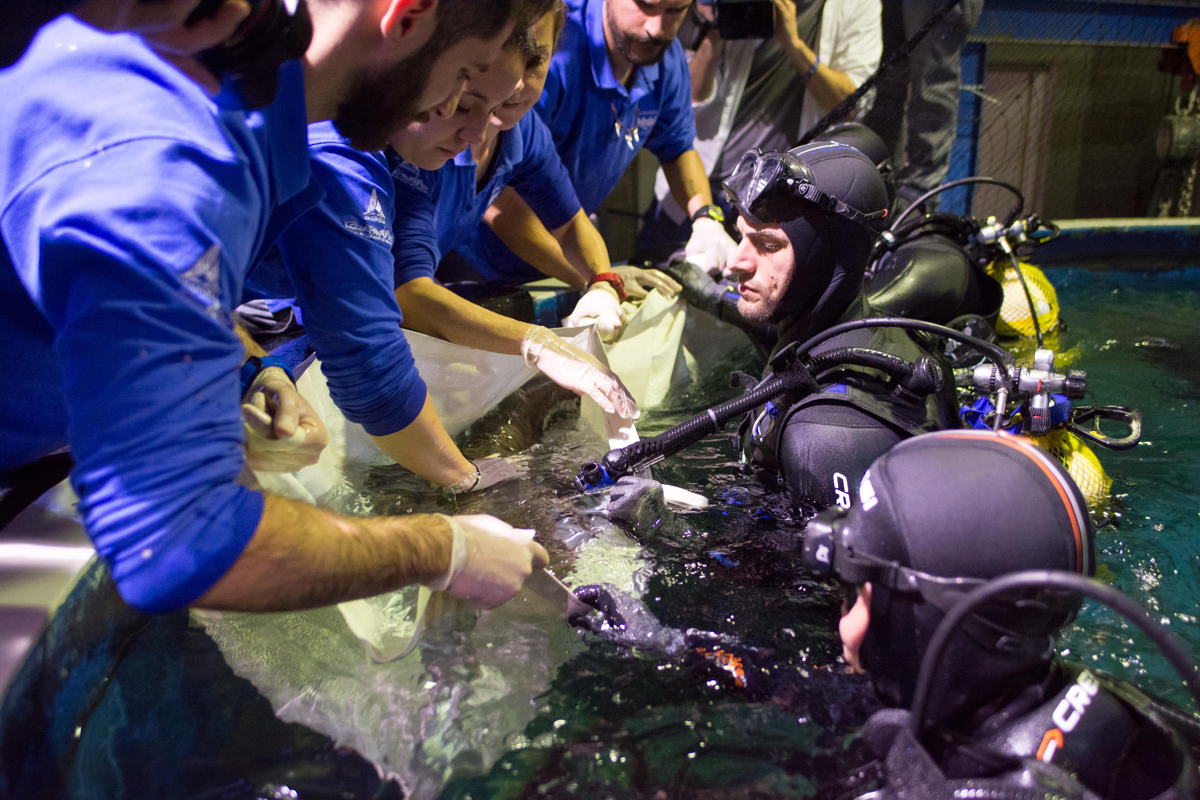 Momento del etiquetado a tiburones