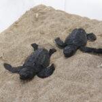 La cría controlada de tortugas marinas multiplica la supervivencia por seis en los primeros meses de vida