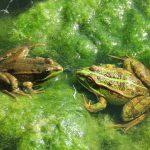 Asalto de ranas