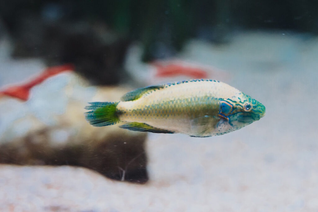 Ocellated wrasse
