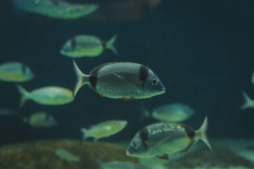 Common two-banded sea bream