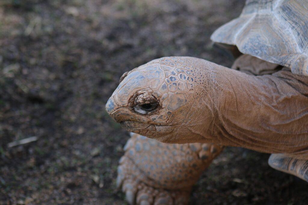 Tortugues d'Aldabra