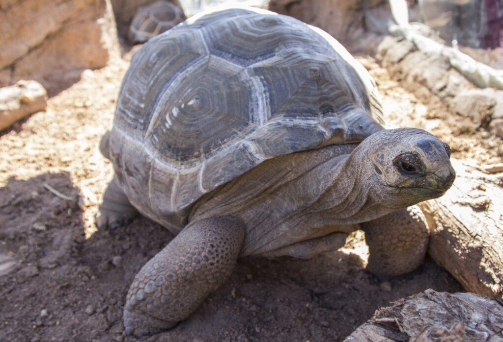Tortugas de Aldabra