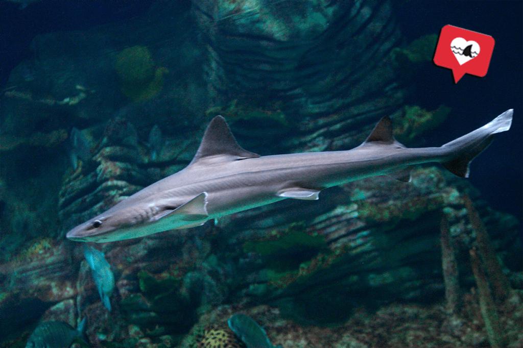 Tiburón Musola