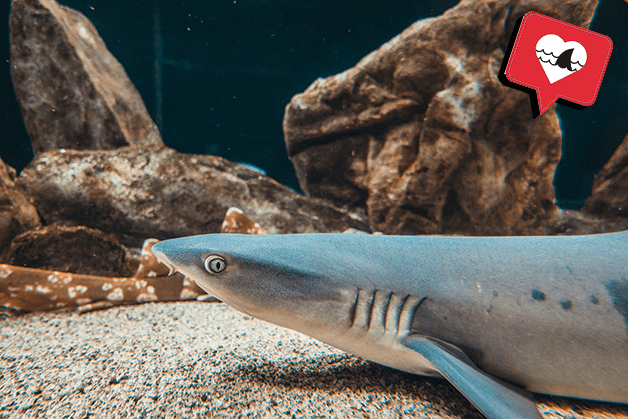 Tiburón de puntas blancas