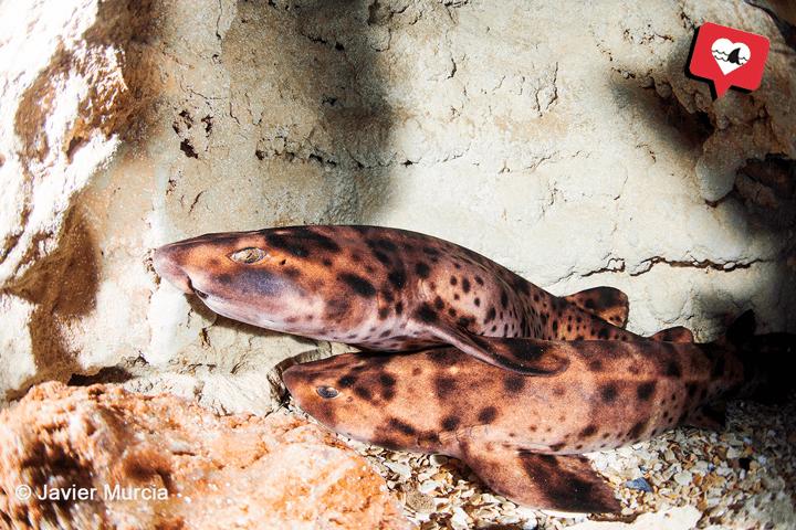 Tiburón inflado