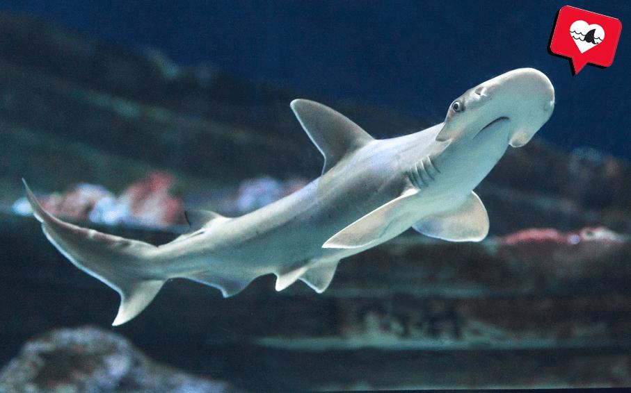 Tiburón martillo cabeza de pala