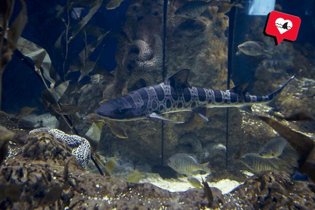Tiburón Leopardo